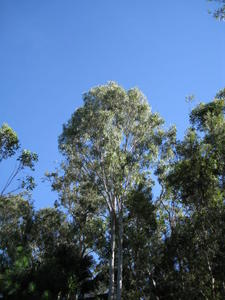 Eucalyptus tereticornis tree shape