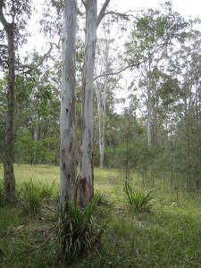 Eucalyptus amplifolia group of trees