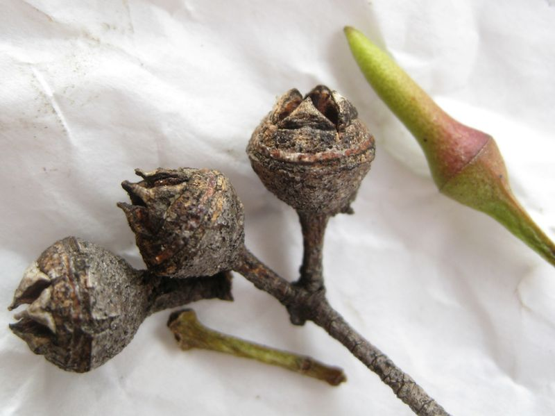 Eucalyptus tereticornis fruit and bud