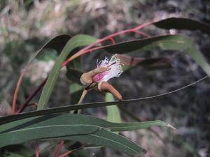 Eucalyptus tereticornis flowers and buds