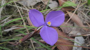 Patersonia fragilis - Short Purple Flag