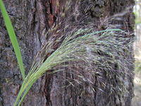 Lachnagrostis filiformis - Blown Grass