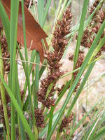 Gahnia aspera - Rough Saw Sedge