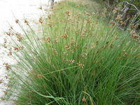 Juncus usitatus - Common Rush