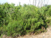 Allocasuarina littoralis heath habit