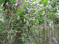 Billardiera scandens twining up a tree