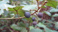 Cissus antarctica - Kangaroo grape