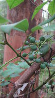 Cissus hypoglauca fruit and tendrils