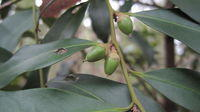 Diospyros australis fruit and shiny leaves