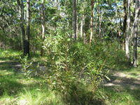Hakea dactyloides habit and habitat