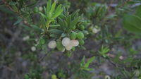 Leucopogon parviflorus - Beach Beard-heath