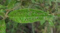 Solanum stelligerum leaf without spines