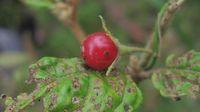 Solanum stelligerum fruit