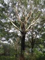 Eucalypts with a rough base and smooth branches
