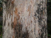 Eucalyptus pilularis rough bark