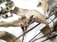 Eucalyptus crebra diamond shaped buds