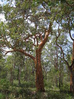 Angophora costata tree shape