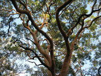 Angophora costata twisted branches
