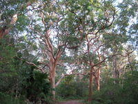 Angophora costata trees