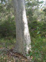 Corymbia maculata old growth trunk