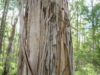 Eucalyptus amplifolia losing bark