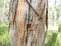 Eucalyptus amplifolia losing bark and showing the new orange bark