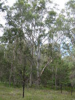 Eucalyptus amplifolia tree shape