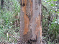Eucalyptus canaliculata with new patches of orange bark