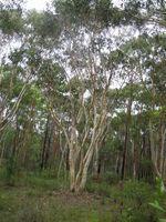 Eucalyptus haemastoma tree shape