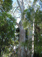 Eucalyptus tereticornis - Forest Red Gum