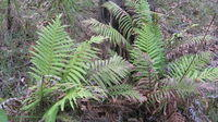 Blechnum cartilagineum - Gristle Fern