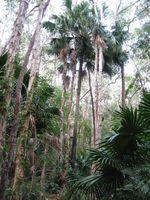 Livistona australis - Cabbage Tree Palm