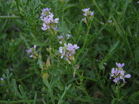 Cakile edentula - Sea Rocket