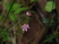 Desmodium varians flower