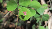 Desmodium varians flower and leaf