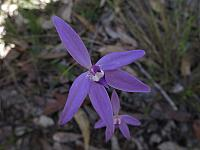 Glossodia major - Wax lip orchid