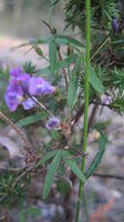 Glycine clandestina flowers and leaf