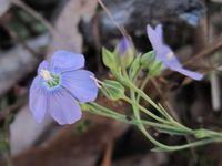 Linum marginale - Native Flax