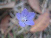 Wahlenbergia communis - Tufted Bluebell