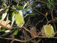 Banksia oblongifolia flower and seed cones