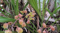 Cymbidium suave flower spike