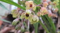 Cymbidium suave flowers