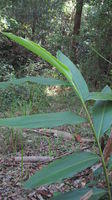 Alpinia caerulea leaves