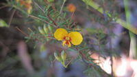 Dillwynia parvifolia flower and buds