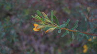 Pultenaea flexilis buds with curved tip