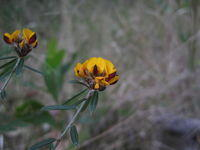 Pultenaea palacea flower head