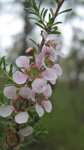 Leptospermum parvifolium - Small-leaved tea-tree