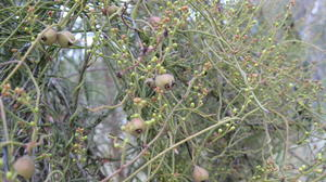 Cassytha pubescens fruit and twining stems