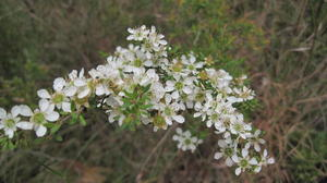 Leptospermum polygalifolium - Lemon Scented Tea Tree
