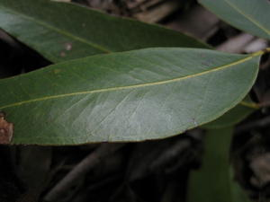 Eucalyptus umbra glossy broad deep green leaf
